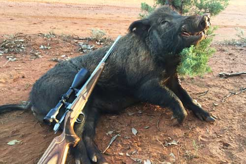 Australian Wild and Feral Pig