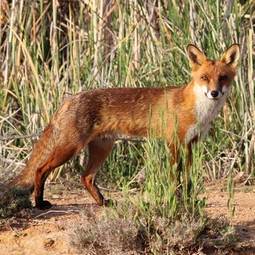 Contact us for Feral Fox Problem