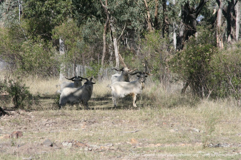 A group of nice billies about to cross back into the neighbouring national park