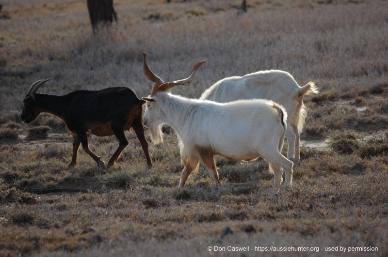 the goat challenge inland hunting properties